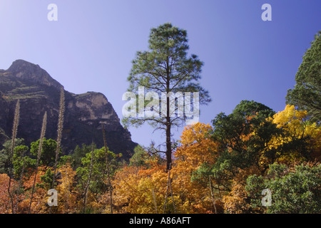 Mountains and canyon Ponderosa Pine Bigtooth Maples  fallcolors McKittrick Canyon Guadalupe Mountains National Park - Stock Photo