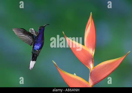 Violet Sabrewing Hummingbird Campylopterus hemileucurus male in flight feeding on Heliconia flower Central Valley - Stock Photo