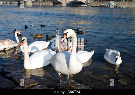 Swans on the River Vltava, Prague - Stock Photo
