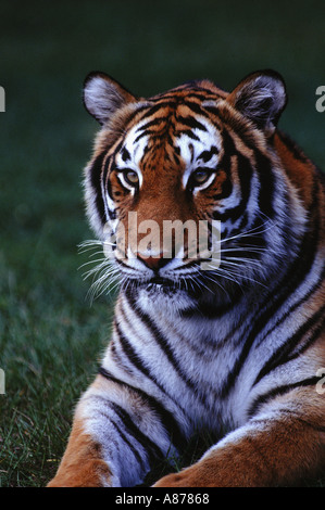 Close up of a Sumatran Tiger Panthera tigris laying down while looking off into the distance - Stock Photo