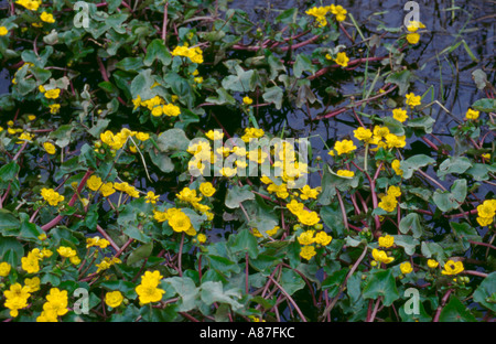 Marsh Marigold, or King Cup (Caltha palustris). - Stock Photo