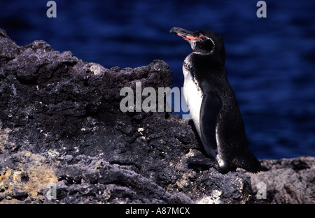 Galapagos penguin Spheniscus mendiculus Sombrero Chino Galapagos Island Ecuador South America - Stock Photo