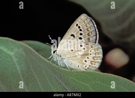 Arctic Blue Agriades glandon Three Forks White Mountains Arizona 16 July Lycaenidae Polyommatinae - Stock Photo