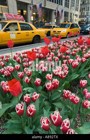 Tulips and Taxis on Park Avenue - Stock Photo
