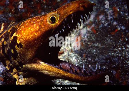 Aggresive specimen of Moray type Tiger moray - Stock Photo