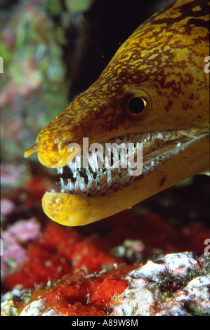 Tiger moray Moray with impressive teeth in canarian waters - Stock Photo