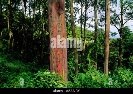 The green red bark of the PAINTED EUCALYPTUS TREES Eucalyptus deglupta is one of natures visual delights MAUI HAWAII - Stock Photo