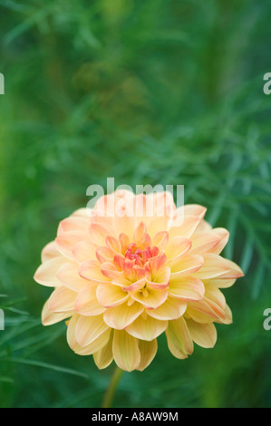 Dahlia Dahlia sp blooming garden flower Oberaegeri Switzerland August 2006 - Stock Photo