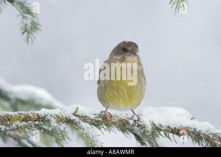 European Greenfinch Carduelis chloris female on sprouse branch with snow while snowing Oberaegeri Switzerland Dezember - Stock Photo