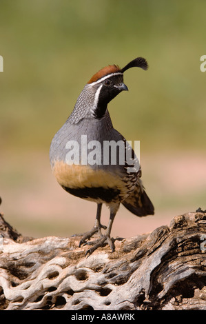 Gambel's Quail Callipepla gambelii male Tucson Arizona USA September 2006 - Stock Photo