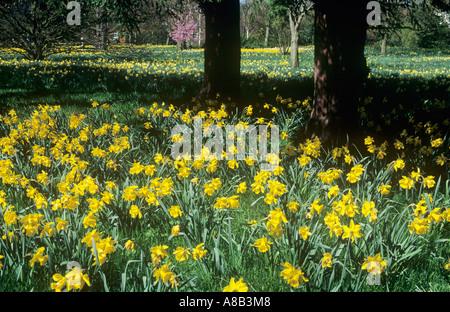 Display of Daffodils, Wilderness Garden, Hampton Court Gardens, East Molesey, Surrey, England, UK