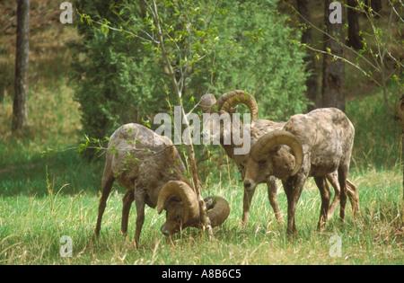 Bighorn Sheep Rams Feeding - Stock Photo