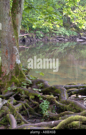 Tree Trunk and Roots Reflecting in Water At Aysgarth Falls Yorkshire Dales National Park England United Kingdom - Stock Photo