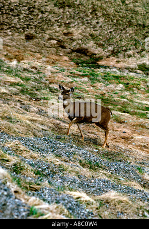 Washington Olympic National Park Hurricane Ridge deer - Stock Photo