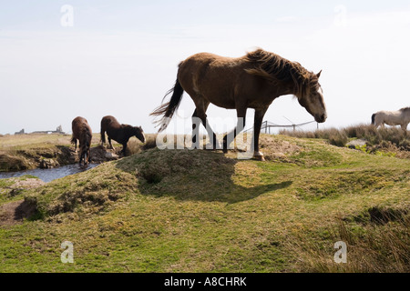 UK Lundy Island wildlife wild Lundy Ponies drinking at pool - Stock Photo