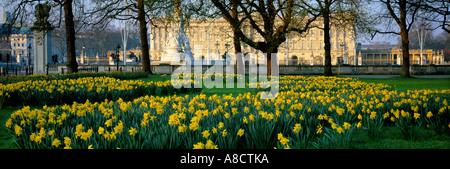 Daffodils in Green Park Buckingham Palace London England UK - Stock Photo