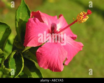 NMJ98682 pink hibiscus Flower Varun Farm House Panvel Maharashtra India - Stock Photo