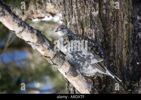 Blue Grouse Dendragapus obscurus female Yellowstone winter - Stock Photo