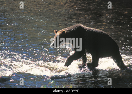Backlit Grizzly Bear Ursus Arctos walking through water whilst fishing for Salmon. Glendale River, Knight Inlet, - Stock Photo