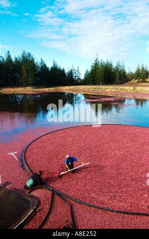 Cranberry Harvesting - Stock Photo