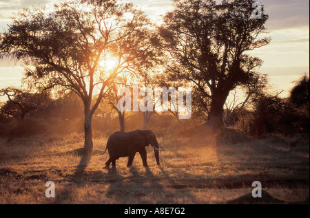 Elephant silhouetted against early morning light Hwange National Park Zimbabwe Africa - Stock Photo