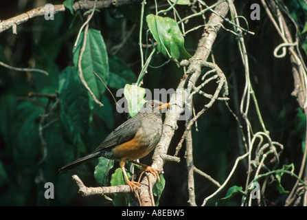 Olive Thrush Turdus olivaceus Perched on branch - Stock Photo