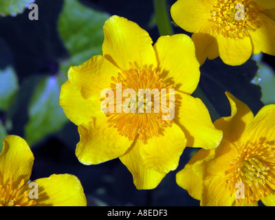Marsh marigold CALTHA PALUSTRIS Sumpfdotterblume dotterblume Cowflock Cowslip Kingcup - Stock Photo