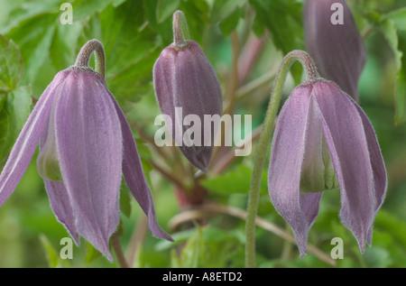 Clematis alpina 'Columbine'. Alpine clematis, Old man's beard, Traveller's joy, Virgin's bower, - Stock Photo