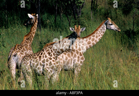 Giraffes graze in long grass in Zimbabwe's Lake Chivero National Park. - Stock Photo