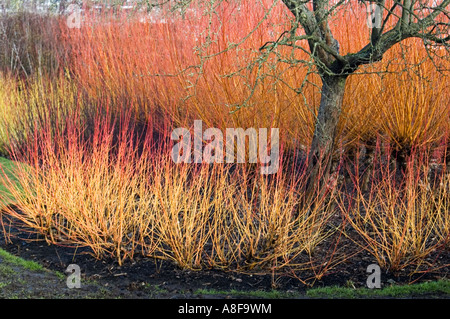 CORNUS SANGUINEA MAGIC FLAME SURROUNDING TREE WINTER GARDENS BROADVIEW  GARDENS HADLOW COLLEGE KENT   Stock Photo