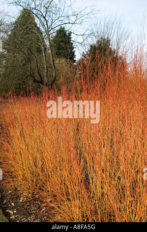 Marvelous ... CORNUS SANGUINEA MAGIC FLAME WINTER GARDEN BROADVIEW GARDENS HADLOW  COLLEGE KENT   Stock Photo