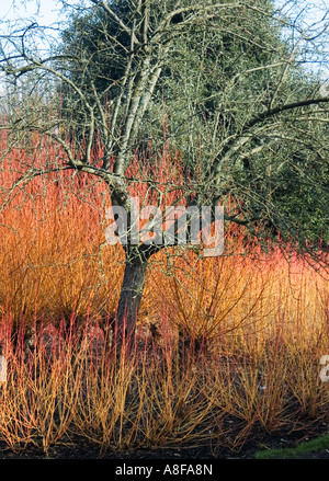 Beautiful ... CORNUS SANGUINEA MAGIC FLAME SURROUNDING TREE BROADVIEW GARDENS HADLOW  COLLEGE KENT   Stock Photo