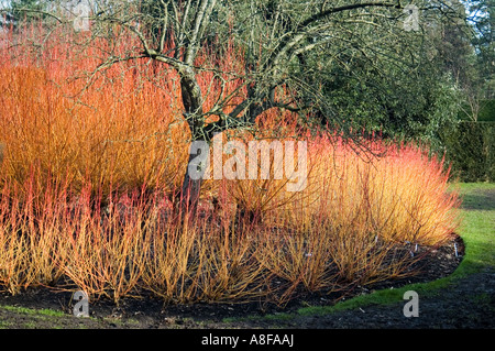 ... CORNUS SANGUINEA MAGIC FLAME SURROUNDING TREE BROADVIEW GARDENS HADLOW  COLLEGE KENT   Stock Photo