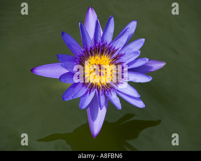 lotus blue lotus blossom flower nile nil blue water lily nymphaea, Beautiful flower