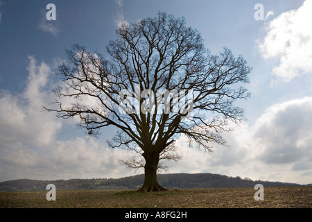 An ancient giant English Oak tree stands in the Herefordshire countryside against a bright winter sky England UK - Stock Photo