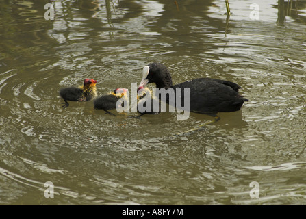 Coot (Fulica atra) with three chicks. - Stock Photo