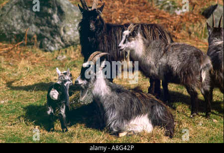 Wild goats and new born kid in the Wild Goat Park, Galloway Forest Park Galloway Scotland UK - Stock Photo