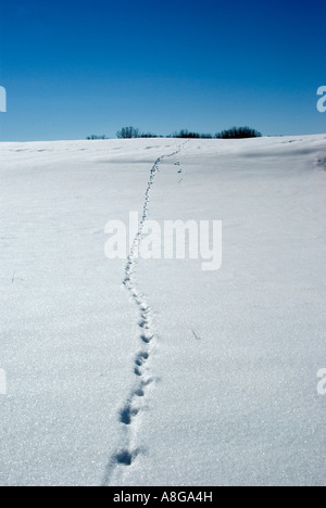 Fox tracks up hill in sparkling field of fresh snow - Stock Photo