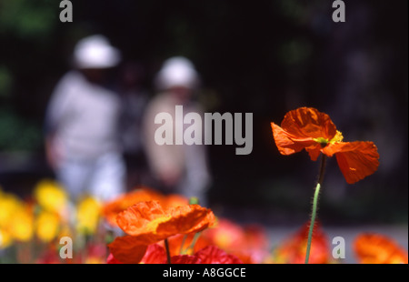 Two people blurred strolling through Christchurch Botanical Gardens poppies foreground New Zealand - Stock Photo