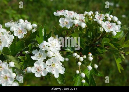 Hawthorn Blossom, (Crategus monogyna), Avon,  UK. - Stock Photo