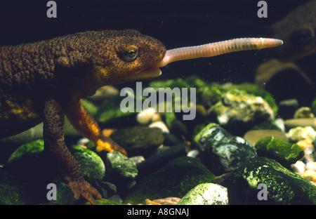 California Newt Taricha torosa eating worm