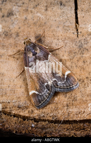 Meal Moth Pyralis farinalis at rest on old log Potton Bedfordshire - Stock Photo
