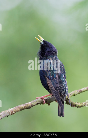 Starling Sturnus vulgaris perched on twig with head up calling with nice out of focus background potton bedfordshire - Stock Photo