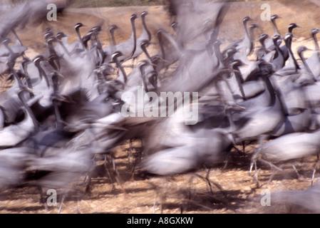 Part of a flock of demoiselle cranes (Grus virgo) taking off. - Stock Photo