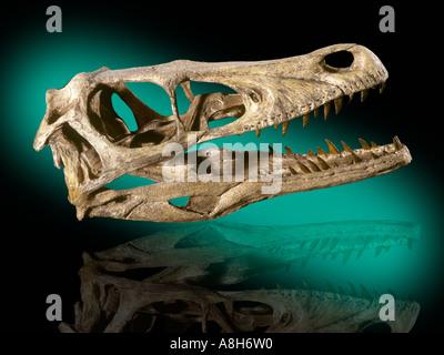 Velociraptor mongoliensis Dinosaur Fossil  Cretaceous Mongolia - Stock Photo