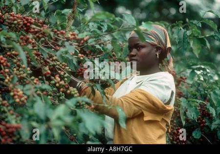 Woman picking ripe coffee cherries from the bush Arusha Tanzania - Stock Photo