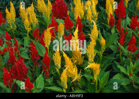 red and yellow salvia (celosia plumosa) flowers bloom together midwest  USA - Stock Photo