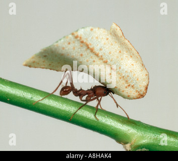 Leaf cutter ant Atta sexdens carrying cut section of leaf
