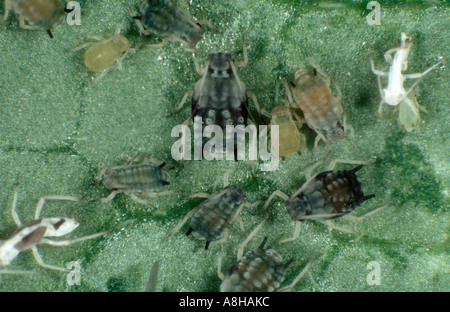 Cotton aphid Aphis gossypii at various stages - Stock Photo