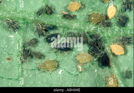 Cotton aphid Aphis gossypii infestation on a cucumber leaf - Stock Photo